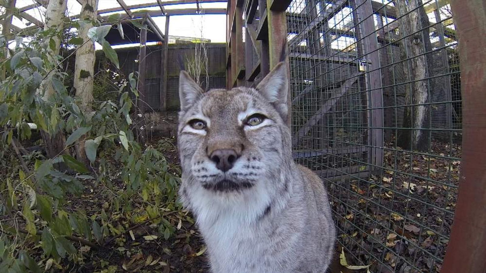 Lynx may be reintroduced into the wild in Scotland