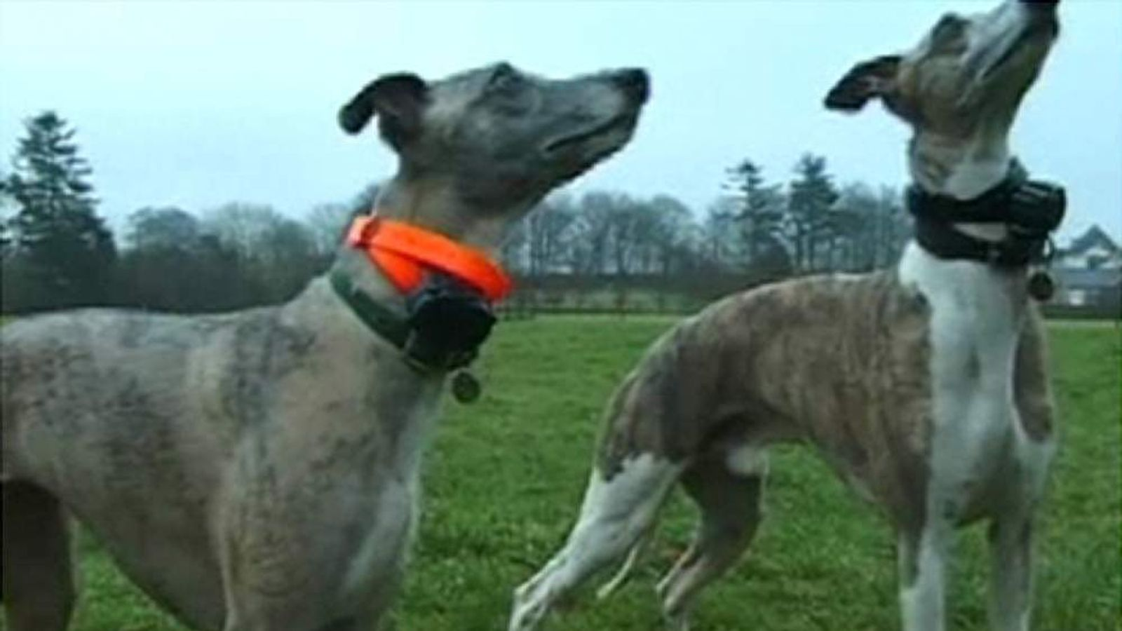 Two dogs wearing electric collars in a large field
