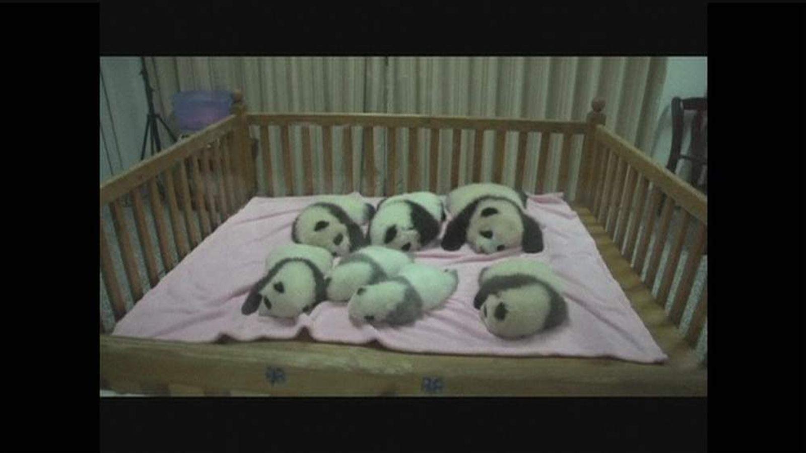 Panda Cubs born in China