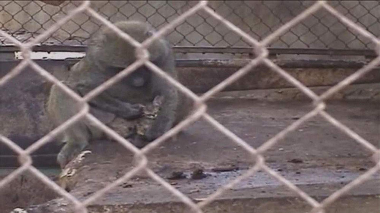 Baboon holding kitten