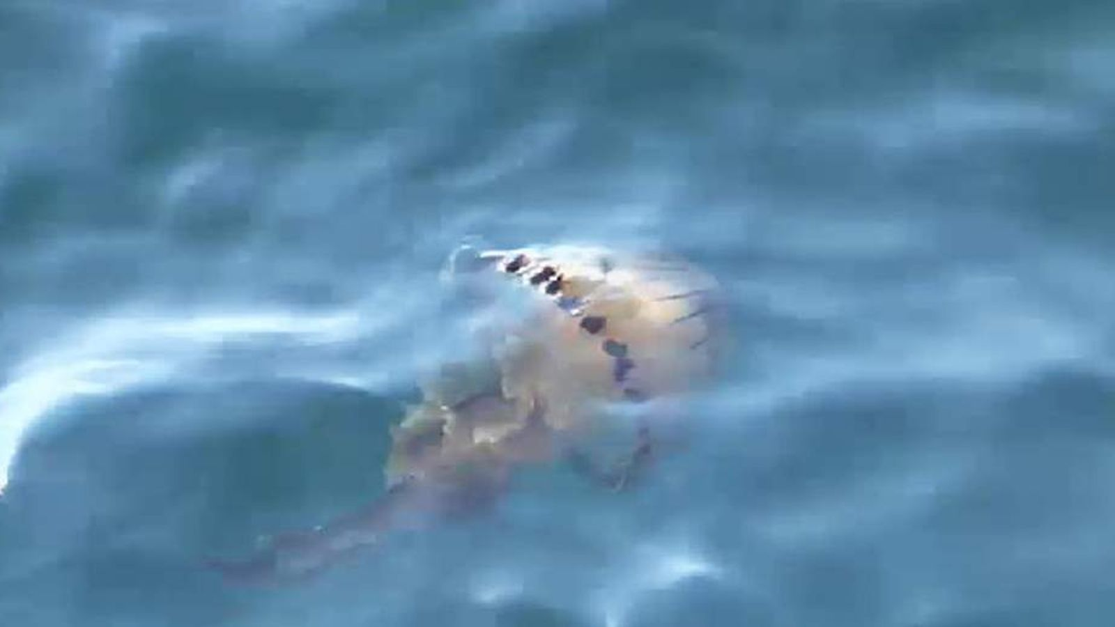 UK Jellyfish off the coast of Cornwall