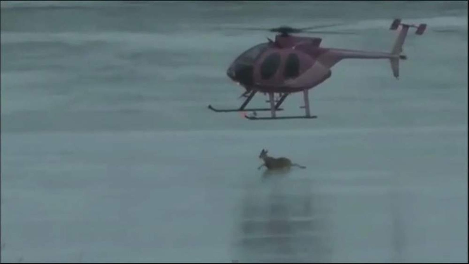 Deer blown off ice by heliopter Alberta Canada