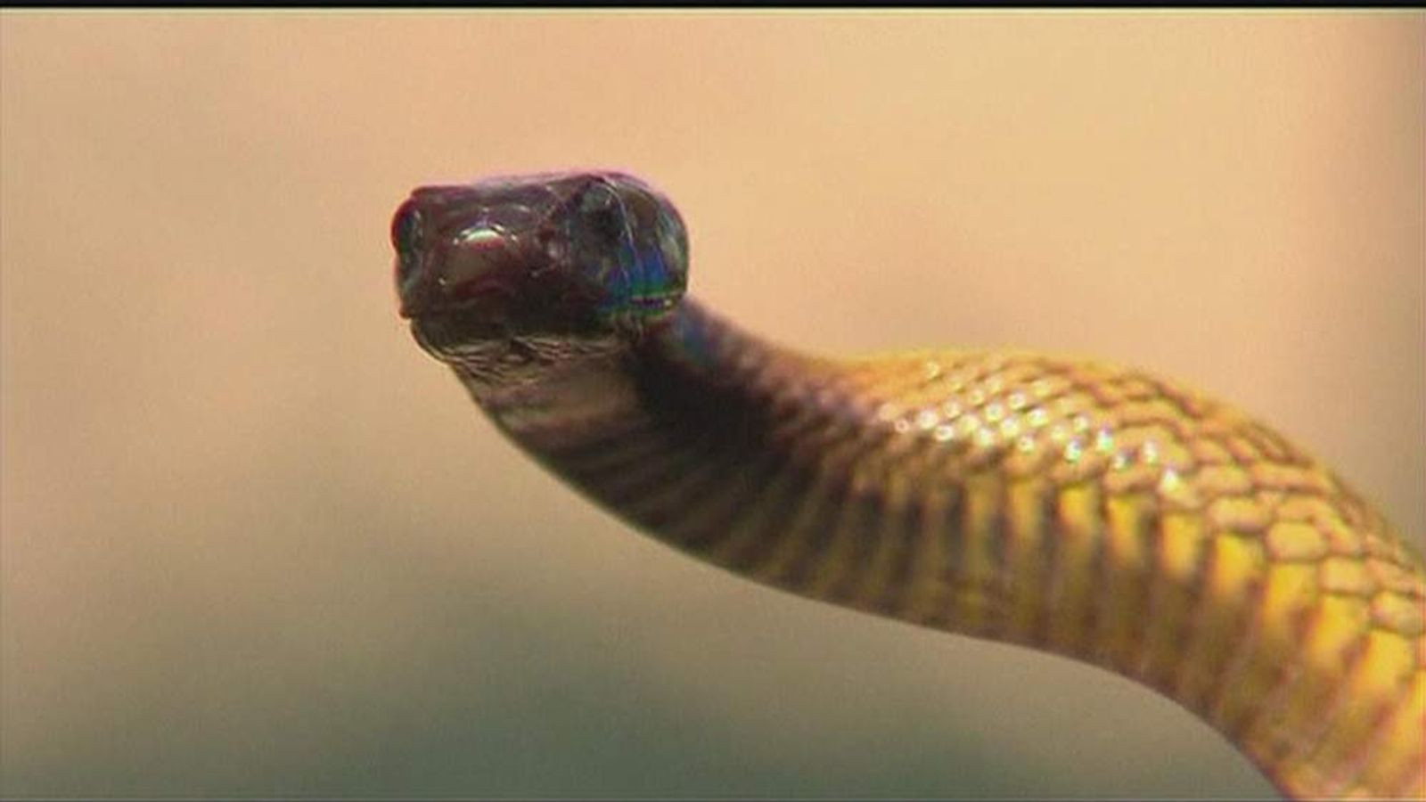 Inland taipan is also known as the fierce snake because of the power of its venom
