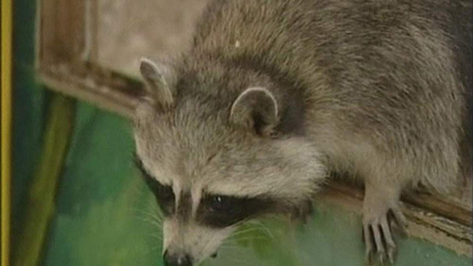 Jemma The Raccoon
