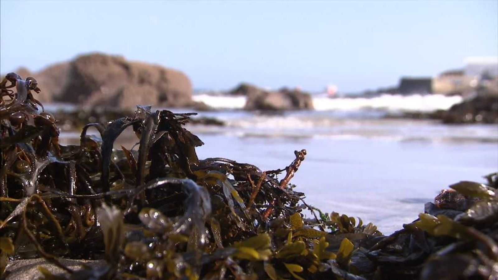 Seaweed growing in Cornwall