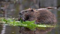 Beaver In Norway