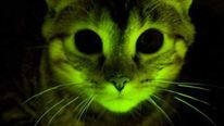 Embargoed to 1800 Sunday September 11 Mayo Clinic handout showing a genetically engineered green-glowing cat which has been created by gene scientists working on the Aids virus..