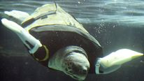JAPAN-ANIMAL-TURTLE-SCIENCE