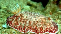 Sea Slug Chromodoris reticulata. Photo courtesy of Stephen Childs