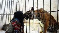 Indonesian Man Best Friends With 28 Stone Bengal Tiger