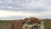 dog called Mahalo attacked by a porcupine