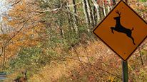 "A deer crosses at a ""deer crossing"" in Shenandoah National Park"