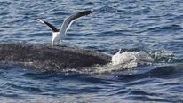 Seagull Attacking Endangered Southern Right Whale