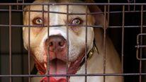 Dangerous Dog Pitbull