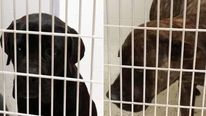 The cane corsos are to be destroyed Pic: Lapeer County Sheriff's Office