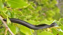 A black Portuguese millipede