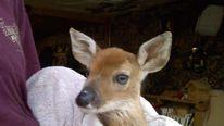 Dani the deer (Facebook)