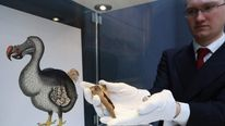 An employee at Christie's auction house holds a rare fragment from a dodo's femur bone