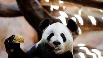 A giant panda eats in its enclosure at the Chimelong Safari Park in Guangzhou
