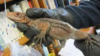 Endangered Iguanas Seized At Heathrow