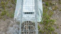 Python in trap. Credit USDA Wildlife Services