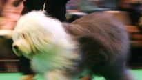 Old English Sheepdog at Crufts in 2006
