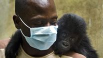 Grauer's gorilla Isangi sits on the shoulder of a caretaker