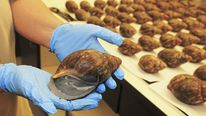 Confiscated Giant African Snails are shown in this handout photo