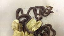 Eastern brown snakes