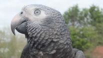 Wunsy The Parrot Foils Attack On Owner