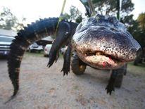Family catches and kills giant alligator. Pic: Sharon Steinmann/Al.com