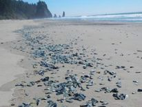 Billions of sea creatures named Velella Velella have washed up along the west coast of the USA. Pic: NOAA