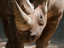 A black rhinoceros stands in its enclosu