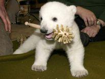 PG Polar bear cub Knut Berlin Zoo