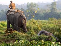 An Indian Forestry Department official, riding an elephant, pulls away the carcass of a rhino killed by poachers at Bagori range in Kaziranga National Park