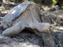 Galapagos giant tortoise Lonesome George died 10 days after filming ended
