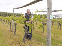 Dedham Vale Vineyard in Essex