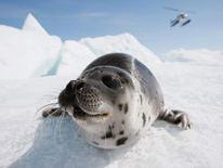 Canada Raises Quota For Controversial Seal Hunt