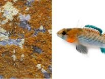 Caloplaca Obamae and Etheostoma obama