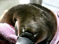 "A Platypus baby or ""puggle"""