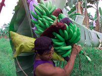 Chiquita banana plantation in Panama