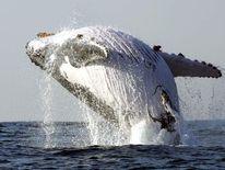 Humpback Whale Breaches Off Coast