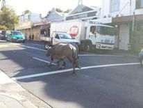The water buffalo running down the street