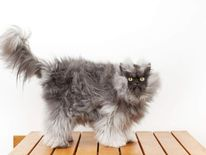 The cat with the longest fur