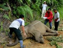 Authorities attend to the carcass of a Borneo pygmy elephant in Malaysia
