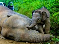 An elephant calf is seen apparently trying to wake its dead mother