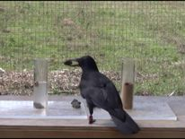 A New Caledonian crow takes part in the experiment to obtain food by dropping objects into water-filled tubes.
