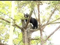 Bear Stuck In A Tree In Florida
