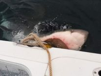 Great white shark attack on South Jersey boat