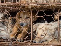 A picture released by Animal Equality shows several dogs in a cage